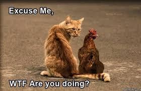 Hen Meme - cat and hen excuse me wtf r u doin know your meme