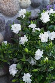 best 25 jasmine bush ideas on pinterest gardenia care