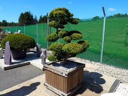 Topiary Cloud Trees - evergreen yew topiary cloud aberdeen gardening