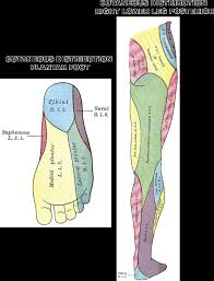 Foot Anatomy Nerves Anatomy U0026 Physiology Illustration
