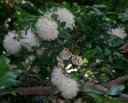 Cairns Botanical Garden by Interesting Flickr Photos Tagged Maniltoa Picssr