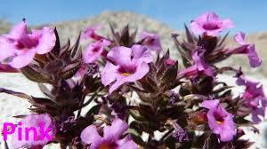 anza borrego wildflowers anza borrego desert wildflowers