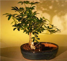 Small Desk Plants Office Plants Bonsai Tree Sale