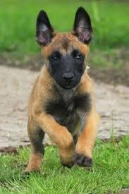 belgian shepherd x a malinois and maybe a wolf dog hybrid gorgeous dogs instinct