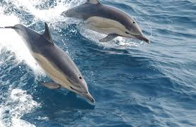 common dolphin wikipedia