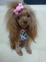 afghan hound and poodle lsa are you heauxs jealous hair is laid to the gods page 2