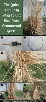 the and easy way to cut back your ornamental grass