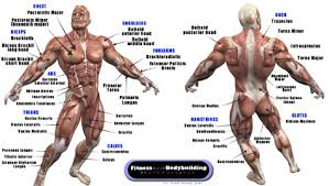 Interactive Muscle Anatomy Muscle Anatomy
