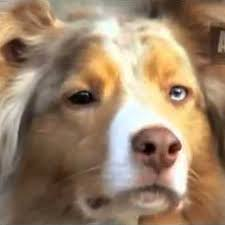 australian shepherd crufts 2015 australian shepherd topic youtube