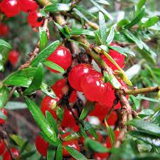 australian native plant seeds australian seed coprosma quadrifida