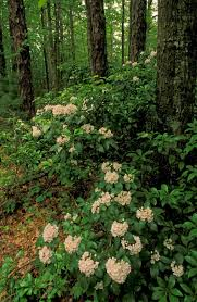 indiana native plants kentucky native plant and wildlife plant of the week mountain