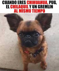 Memes De Chihuahua - dopl3r com memes cuando eres chihuahua pug el chilaquil y un