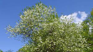 Tree With Little White Flowers - 2016 top 10 sustainable plants phipps conservatory and botanical