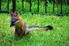 grey fox and her kit in my backyard album on imgur