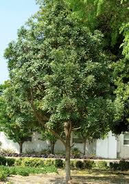 japanese blueberry tree shogun series monrovia japanese