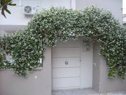 Fragrant Jasmine Plant - the fragrant jasmine trellis over the gate athens greece the