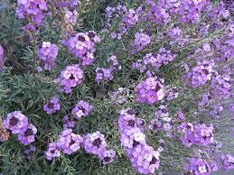 plante vivace soleil erysimum planter et cultiver u2013 ooreka