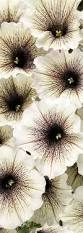 spectacular gingers u0026 other amazing exotic plants rare plants 22 best genus haemanthus images on pinterest exotic beautiful