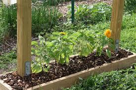 teddy sunflowers skippy s vegetable garden sunflowers bulletin board