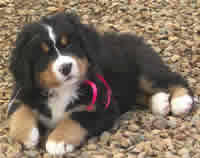 dachshund x australian shepherd what u0027s the life expectancy of your dog puppy in training