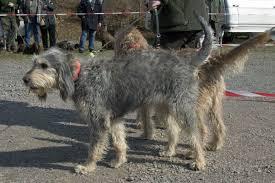afghan hound vs wolfhound griffon nivernais wikipedia