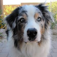 australian shepherd eye diseases australian shepherd with uveodermatological syndrome