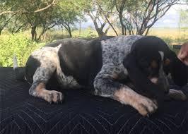 bluetick coonhound price pedigree for hazel elanor bearden and rowdy reputation u0027s pups
