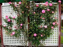 Build A Rose Trellis Creating A Lattice Trellis Garden At Your Home