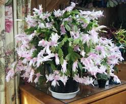 thanksgiving cactus cactus easter cactus what s the