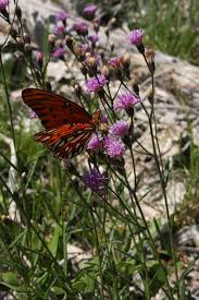 florida native butterfly plants native florida wildflowers common ironweed vernonia angustifolia