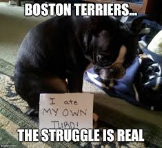 Boston Terrier Meme - image tagged in boston terrier imgflip
