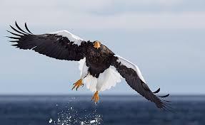 stellers sea eagle wallpapers list of eagle species birdlife