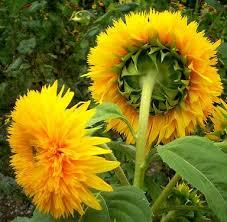 teddy sunflowers teddy sunflower garden teddy sunflowers