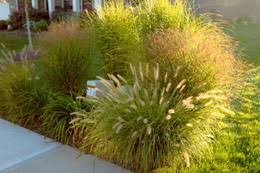 how to divide and transplant ornamental grasses
