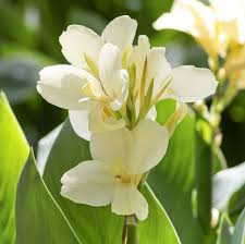 Cana Lilly 70 Best Flowers Canna Lillies Images On Pinterest Canna Lily