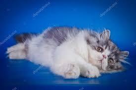 studio persiani gatto persiano in studio foto stock averyanova 54644341