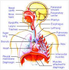 Human Anatomy Respiratory System Anatomy Respiratory System English