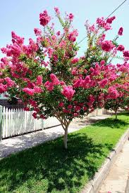 crepe myrtles are among the world s best flowering trees they are