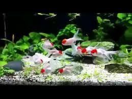 Aquascape Freshwater Aquarium Aquascaping Freshwater Aquarium With Goldfish U0026 Cichlids Youtube