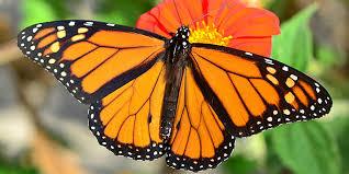 monarch butterfly momangeles