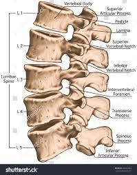 Human Jaw Bone Anatomy Lumbar Spine Structure Vertebral Bones Lumbar Stock Illustration