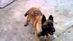 belgian shepherd youtube aki belgian shepherd dog malinois angry on vacuum cleaner