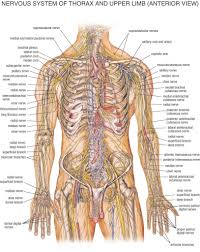 Anatomy And Physiology Of The Back Nerves Of The Back Anatomy Chapter 12 Nervous Tissue Anatomy