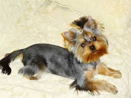 stunning yorkie hair cuts 15 best yorkies images on pinterest yorkshire terrier haircut