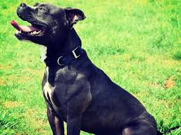 american pitbull terrier webbed feet american pit bull foundation