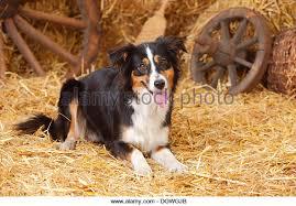 australian shepherd black australian shepherd and mini aussie stock photos u0026 australian