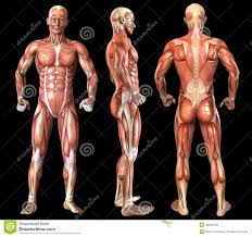 Body Anatomy Back Man Body Anatomy Front Back And Side Royalty Free Stock Photo