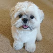 bichon frise instagram 19 must follow shih tzus on instagram shih tzu daily