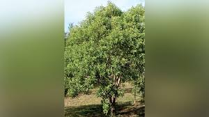 now sell sandalwood trees without fear of mysore