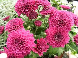 dahlias flowers dahlias how to grow and care for dahlia plants the garden